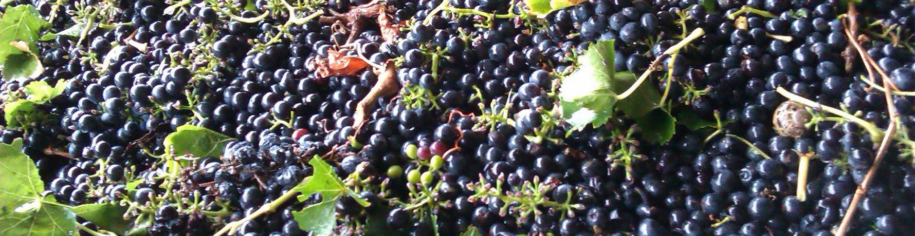 Raccogliere Frutta in Australia