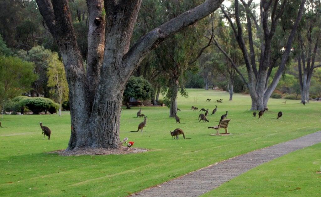 Canguri al parco a Sydney