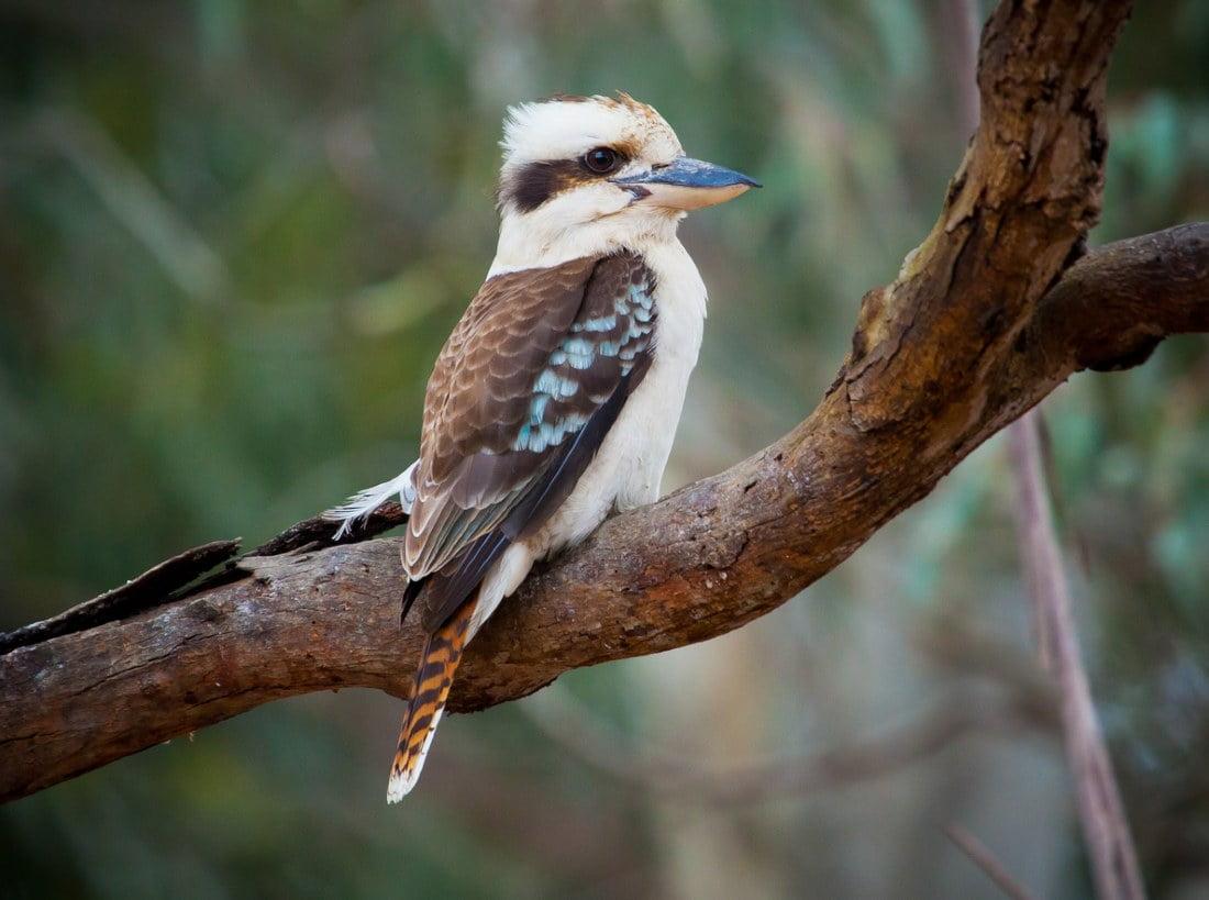 Kookaburra in Australia