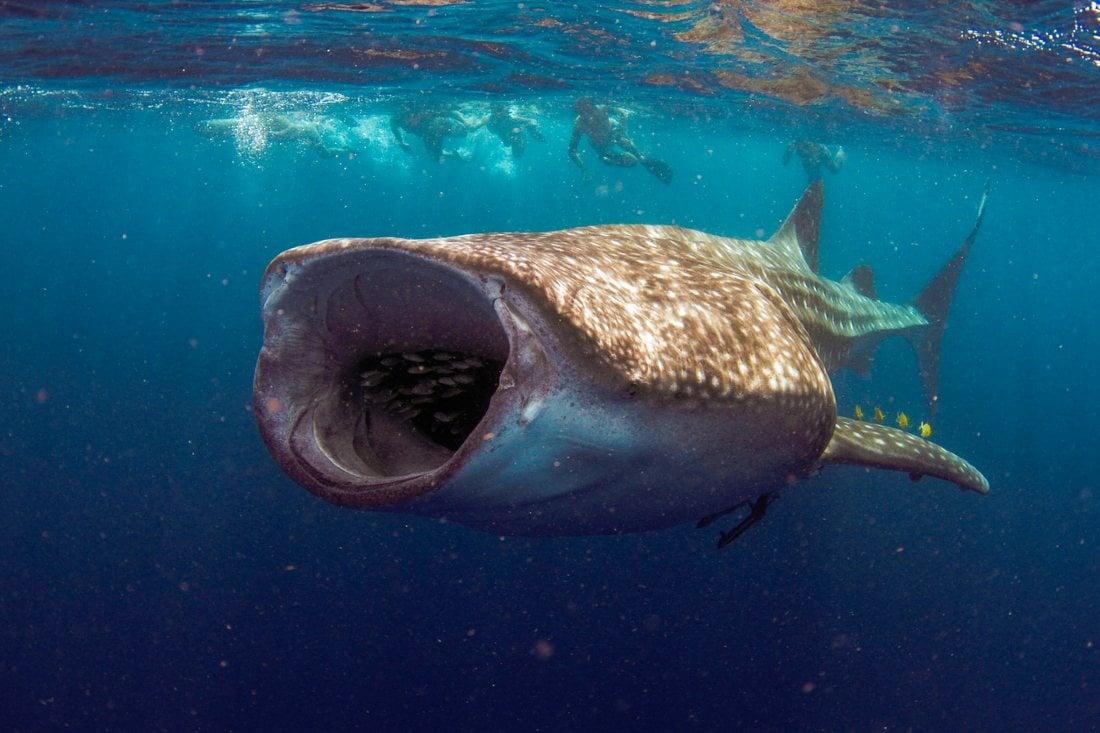 Squalo Balena in Australia